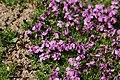 Moss Campion - Silene acaulis (44621815882).jpg