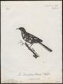 Motacilla indica - 1796-1808 - Print - Iconographia Zoologica - Special Collections University of Amsterdam - UBA01 IZ16300125.tif