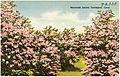 Mountain Laurel, Torrington, Conn (72330).jpg