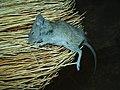 Mouse - panoramio.jpg