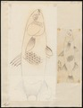 Mugil cephalus - 1700-1880 - Print - Iconographia Zoologica - Special Collections University of Amsterdam - UBA01 IZ13800039.tif