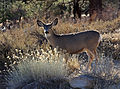 Mule deer doe backlit.jpg