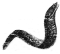 Muraena-helena.png