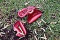 Musa acuminata 7zz.jpg
