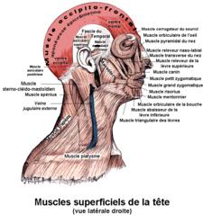musculus occipitofrontalis