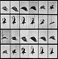 Muybridge, Eadweard - Fliegender Geier (0.19 Sekunden) (Zeno Fotografie).jpg