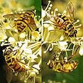 Myathropa florea (15904970219).jpg