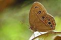 Mycalesis perseus blasius ventral view 20141011.jpg