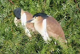 Nankeen Night Herons.jpg