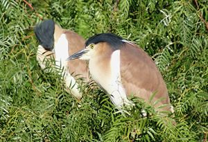 Nankeen night heron - Nankeen night heron visiting Melbourne Zoo