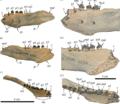 Nanodobenus arandai mandible.png