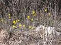 Narcissus assoanus 2.jpg