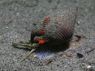 Hypsogastropoda Clade containing marine gastropods