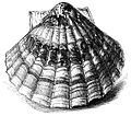 Natural History - Mollusca - The Great Scallop.jpg