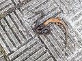 Natureza 1-Vipera seoanei devorando un lagarto ocelado.jpg