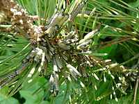 Neodiprion sertifer chenilles (1).JPG