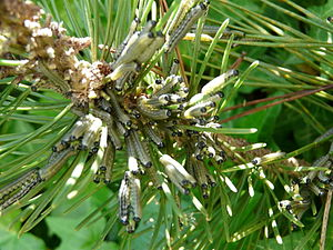 Neodiprion sertifer - Neodiprion sertifer larvae on a pine in Dordogne France