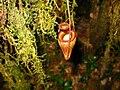Nepenthes flava3.jpg