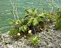 Nepenthes treubiana2.jpg