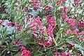 Nerium oleander 1 2017-07-20.jpg