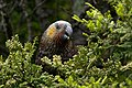 Nestor meridionalis -Stewart Island, New Zealand-8.jpg