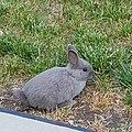 Netherland Dwarf rabbit.jpg