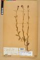 Neuchâtel Herbarium - Camelina microcarpa - NEU000022964.jpg