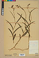 Neuchâtel Herbarium - Cephalanthera rubra - NEU000046811.jpg