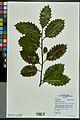 Neuchâtel Herbarium - Ilex aquifolium - NEU000027833.jpg