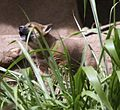 New Guinea Singing Dog Pup-2.jpg