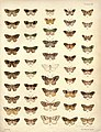 New Zealand Moths and Butterflies (1898) 07.jpg