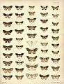 New Zealand Moths and Butterflies (1898) 07.jpg