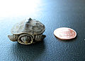 Newly hatched diamondback terrapin.jpg