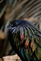 Nicobar Pigeon, Caloenas nicobarica.jpg