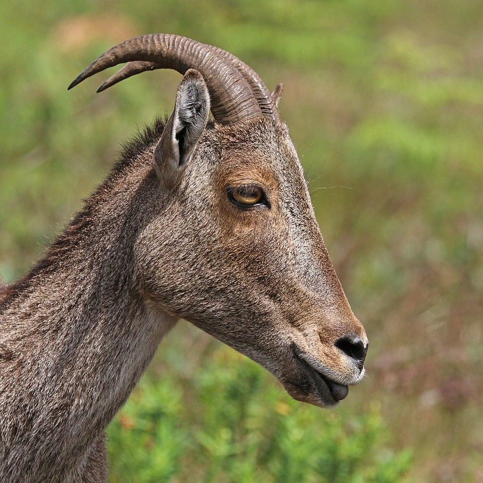 Nilgiri tahr (Nilgiritragus hylocrius) female head