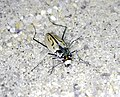 Northeastern beach tiger beetle (5951682454).jpg