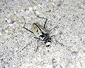 Northeastern beach tiger beetle (5951682454).jpg