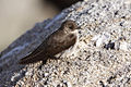 Northern Rough-winged Swallow (Stelgidopteryx serripennis) on a rock - 2.jpg