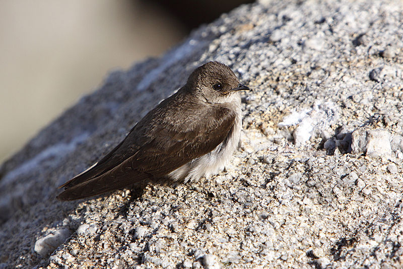 File:Northern Rough-winged Swallow (Stelgidopteryx serripennis) on a rock - 2.jpg