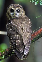 A midsized bird perched on a moss covered limb. It has brown feathers, covered with white to tan spots. Its eyes are round and black, and its beak is short and curved downward.