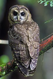 A large brown owl with white and gray spots on its feathers and dark brown eyes looking at the camera