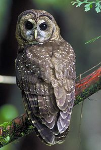 Northern Spotted Owl.USFWS