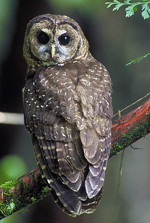 Habitat Conservation Plan - Threatened northern spotted owl (Strix occidentalis caurina). A project, such as planned logging, that might lead to habitat destruction of the northern spotted owl would require submitting a Habitat Conservation Plan as part of its Incidental Take Permit.