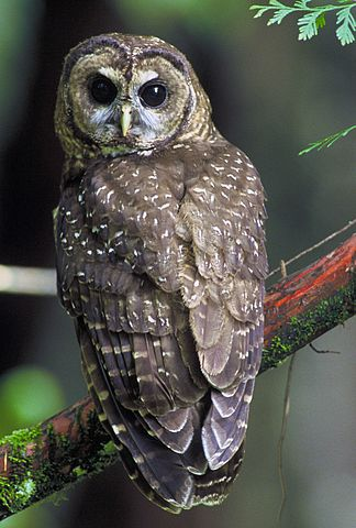 [Image: 324px-Northern_Spotted_Owl.USFWS.jpg]