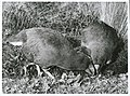 Notornis on game farm, Mount Bruce, Masterton, 1966 (3).jpg