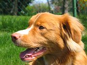 "This Toller has the rich orange coat color and ""foxy"" head shape that are desirable for the breed"