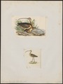 Numenius longirostris - 1700-1880 - Print - Iconographia Zoologica - Special Collections University of Amsterdam - UBA01 IZ17400065.tif