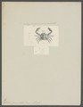 Nursia granulata - - Print - Iconographia Zoologica - Special Collections University of Amsterdam - UBAINV0274 096 08 0003.tif