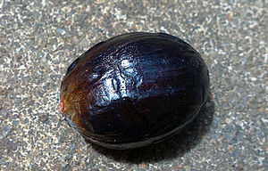 Trimyristin - Seed of nutmeg contains trimyristin