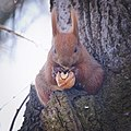 Nutty squirrel (40315410864).jpg